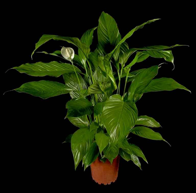 Pianta spatifillo il basilico la pianta dei re with for Spatifillo pianta
