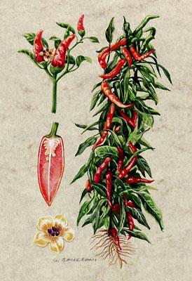 Peperoncino capsicum annuum - Peperoncino pianta perenne ...