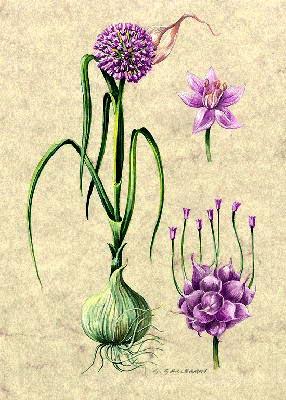Aglio allium sativum for Aglio pianta